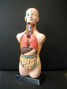 Anatomisch model Torso