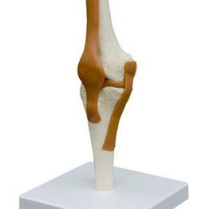 Skelet kniegewricht